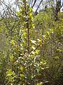 Rhamnus alaternus 2601.JPG
