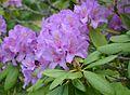 Rhododendron 001.jpg