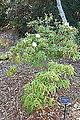 Rhododendron annae - Mendocino Coast Botanical Gardens - DSC02037.JPG