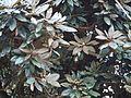 Rhododendron arboreum subsp. nilagiricum (6370325651).jpg