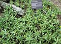 Rhombophyllum dolabriforme JB.jpg