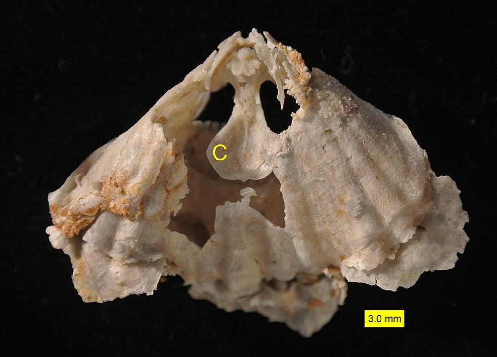 Rhynchonellid crura Permian Texas