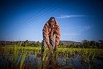 Rice Field (12756462863).jpg