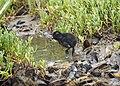 Ridgeway Rail Chick (27829906291).jpg