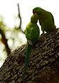 Ring Necked Parakeets Kokrebellur.jpg