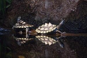 Ringed map turtle - Image: Ringed sawback turtle Graptemys oculifera