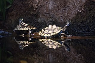 Ringed map turtle species of reptile