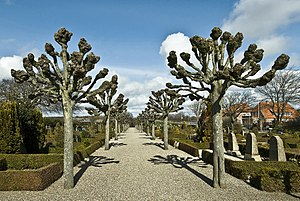 Lime tree in culture - Avenue with linden in the cemetery by Ringkøbing, Jutland, Denmark