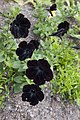 Ringve botaniske hage foto-Åge Hojem, NTNU Vitenskapsmuseet dsc9297 (15264129026).jpg