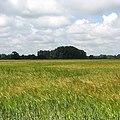 Ripening barley - geograph.org.uk - 846603.jpg