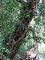 River Ching footpath 15, river bank tree, South Chingford, London, England.jpg