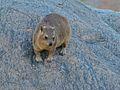 Rock Hyrax (Procavia capensis) (6896132796).jpg