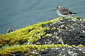 Rock sandpiper on St. Paul Island.jpg