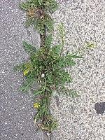 Rorippa sylvestris (s. str.) sl19.jpg