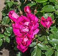 Rosa 'Hot Pants' in Dunedin Botanic Garden 03.jpg
