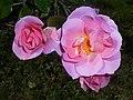 Rosa Pink Robusta 2017-09-29 6110.jpg