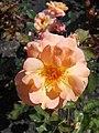 Rosa Rosemary Harkness 2018-07-16 6760.jpg