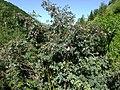 Rosa glauca plant (05).jpg