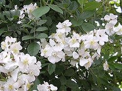 Rosa multiflora (200705).jpg