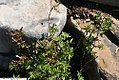 Rosa palustris 2zz.jpg
