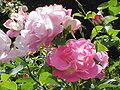 Rosa sp.133.jpg