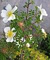 Rosa spinosissima inflorescence (89).jpg