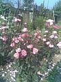 Rosales - Rosa cultivars 11 - 2011.07.11.jpg