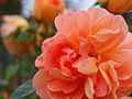 Rose Pat Austin バラ パット オースチン (6336324250).jpg