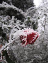 Rose givre 2.jpg