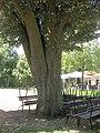 Rosengarten Forst, Silber-Linde vor dem Restaurant, Sommer, 02.jpg