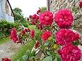 Roses a plumergat - panoramio.jpg