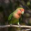 Rosy-faced lovebird (Agapornis roseicollis roseicollis).jpg