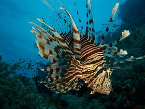 Rotfeuerfisch (Pterois miles)