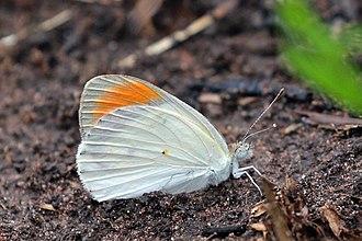Colotis euippe - Image: Round winged orange tip (Colotis euippe euippe) male underside