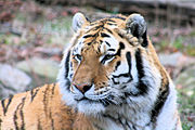 Tiger at New York's Bronx Zoo, one of the first that made conservation its major aim.