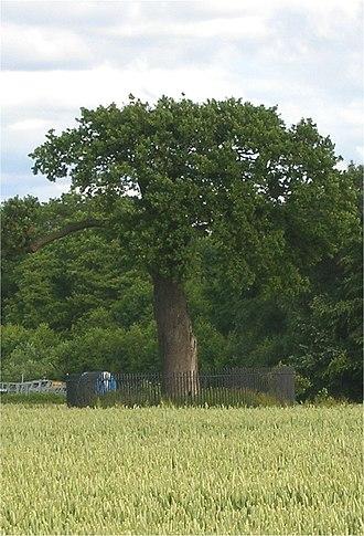 Escape of Charles II - A descendant of the Royal Oak at Boscobel House.