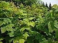 Rubus parviflorus Valkovatukka Nutkahallon DSC03851 C.JPG