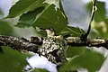 Ruby-throated hummingbird on nest 03.jpg