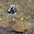 Ruddy Turnstone at Smyrna Dunes Park - Flickr - Andrea Westmoreland (1).jpg
