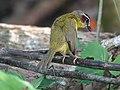 Rufous-capped warbler (40712684462).jpg