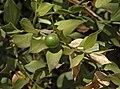 Ruscus aculeatus 20090807 3.jpg