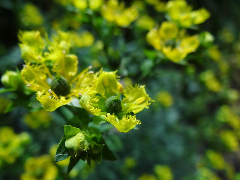 File:Ruta graveolens flowers.JPG