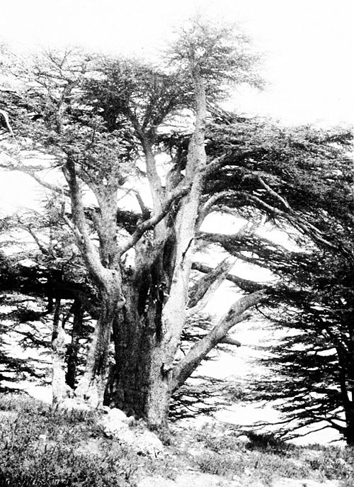 The Guardian, the oldest Cedar of Lebanon