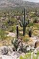Saguaro landscape.jpg