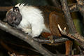 Saguinus bicolor at the Bronx Zoo 01.jpg