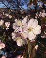 Sakura153.jpg