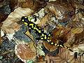 Salamandra salamandra sl3.jpg