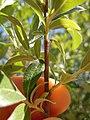Salix bebbiana (5002977986).jpg