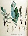 Salix daphnoides — Flora Batava — Volume v18.jpg