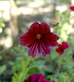 Salpiglossis sinuata flower front view.jpg